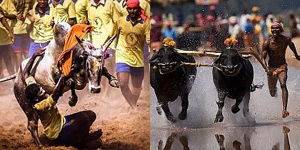 The most disputed animal sports in India