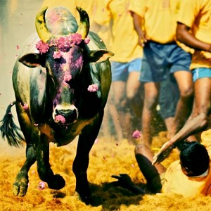 Jallikattu could be held in two days time - explained in simple terms