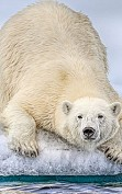 Interesting facts about polar bear you should know