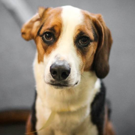 "Hound: ""Jewel,"" American Foxhound"