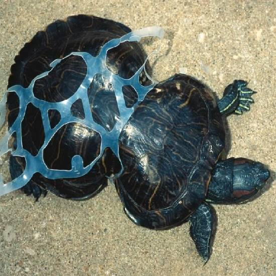 Turtle stuck in plastic