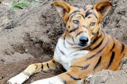 Farmer Paints His Dog To Look Like A Tiger To Scare Monkeys