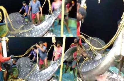 fisherman in kozhikode release whale shark video viral