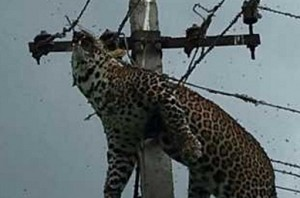 Leopard found dead in electric pole near Hyderabad