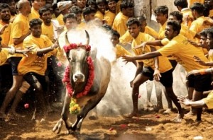PETA makes breaking move to ban jallikattu
