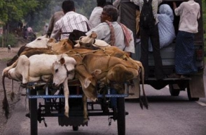 UP govt to use NSA against cow smugglers