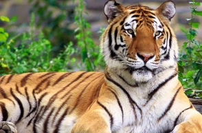 Bengal tiger kills Siberian tiger at Chinese zoo