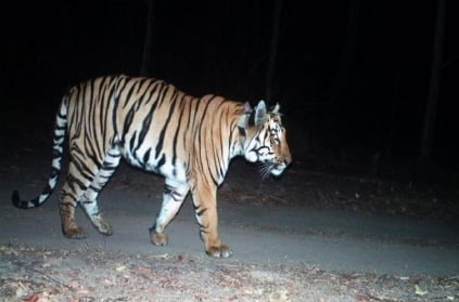 Maharashtra tiger walks about 3000 km search of Female tiger