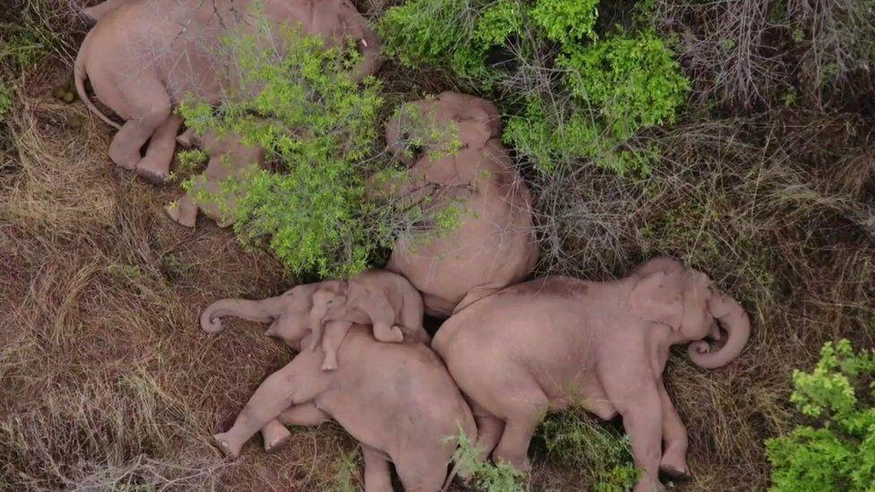 A video stray elephant sleeping with its family china